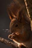 Portrait des Eichhörnchens in der natürlichen Hintergrundbeleuchtung Lizenzfreie Stockfotos