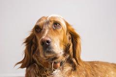 Portrait des englischen Setzers Lizenzfreies Stockbild