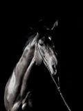 Portrait des erstaunlichen Brut Stallion in der Dunkelheit stockfotografie
