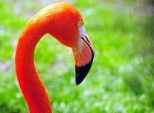 Portrait des Flamingos Stockfotografie