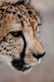Portrait des Geparden (geppard) stockfotografie