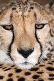 Portrait des Geparden (geppard) lizenzfreies stockfoto