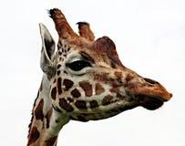 Portrait des Giraffekopfes Stockfotos