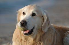 Portrait des glücklichen Hundes des goldenen Apportierhunds Lizenzfreie Stockfotografie