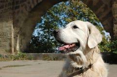 Portrait des glücklichen Hundes des goldenen Apportierhunds Lizenzfreies Stockfoto