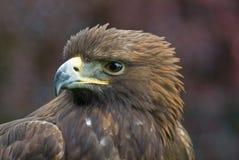 Portrait des goldenen Adlers Lizenzfreie Stockbilder