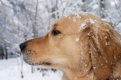Portrait des goldenen Apportierhunds Stockfotografie