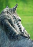 Portrait des grauen Pferds Stockfoto