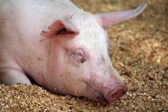 Portrait des großen Schweins Stockfoto