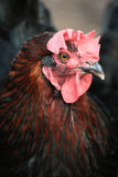 Portrait des Huhns Lizenzfreies Stockfoto
