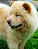 Portrait des Hundechow-chows Stockfoto