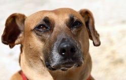 Portrait des Hundes Lizenzfreie Stockfotos