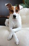 Portrait des Hundes Lizenzfreies Stockfoto