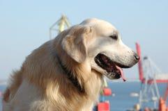Portrait des Hundes des goldenen Apportierhunds Stockfotografie