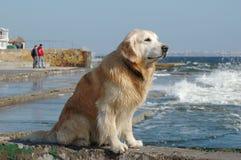Portrait des Hundes des goldenen Apportierhunds in dem Meer Stockfotografie