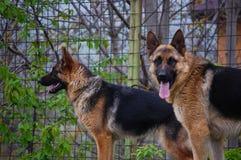 Portrait des Hundes Germna Sheperd Stockfotos