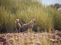 Portrait des hyènes repérées se tenant devant le buisson vert de désert examinant la distance, Palmwag, Namibie, Afrique photos libres de droits