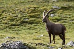 Portrait des jungen Steinbocks in den Alpen Stockbilder