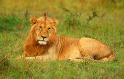 Portrait des jungen wilden afrikanischen Löwes Stockfotos