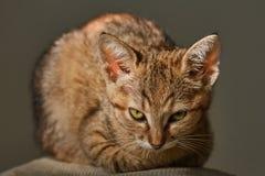 Portrait des Kätzchens Stockfotografie