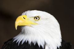 Portrait des kahlen Adlers Lizenzfreies Stockbild