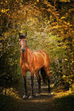Portrait des Kastaniepferds Stockfoto