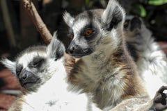 Portrait des lémurs Photographie stock libre de droits