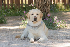 Portrait des Labrador-Hundes Stockfotografie