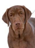 Portrait des Labradorapportierhunds Lizenzfreie Stockfotos