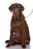 Portrait des Labradorapportierhunds Stockbild
