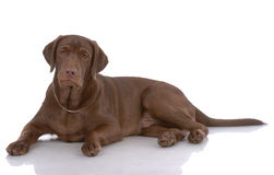 Portrait des Labradorapportierhunds Stockfoto