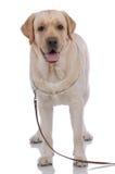 Portrait des Labradorapportierhunds Stockfotografie