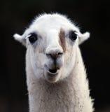Portrait des Lamas Lizenzfreie Stockfotos