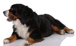 Portrait des Legens von Bern Sennenhund Lizenzfreie Stockfotografie