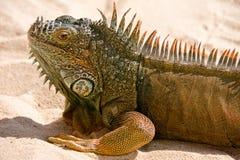 Portrait des Leguans auf Sand Stockbild