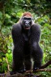 Portrait des männlichen westliches Tiefland-Gorillas. Lizenzfreie Stockbilder