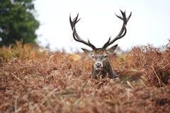 Portrait des majestätischen Hirsches der roten Rotwild im Herbst-Fall lizenzfreies stockbild