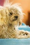 Portrait des Mischbruthundes. Stockfotografie