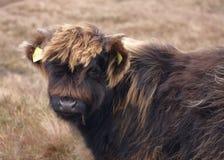 Portrait des montagnes de bétail de brun foncé Photos stock