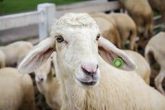 Portrait des moutons mignons Photographie stock libre de droits