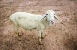 Portrait des moutons mignons Photos stock