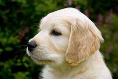Portrait des netten Welpen des goldenen Apportierhunds stockbild