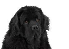 Portrait des Neufundland-Hundes Stockfotos