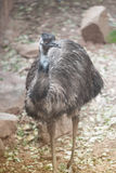 Portrait des novaehollandiae de Dromaius d'émeu Animal de faune Images libres de droits