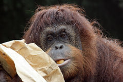 Portrait des Orang-Utans Lizenzfreies Stockfoto