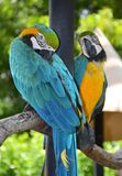 Portrait des perroquets d'ara d'Amazone image libre de droits