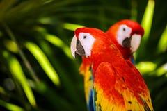 Portrait des perroquets d'ara d'écarlate image stock