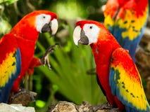 Portrait des perroquets d'ara d'écarlate photo stock