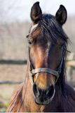 Portrait des Pferds Stockfotografie
