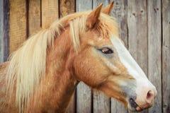 Portrait des Pferds Lizenzfreies Stockfoto